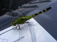 dragonfly az.JPG