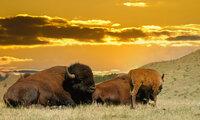 Bison-Custer-Park.jpeg