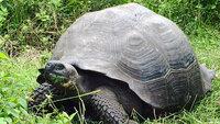 tortoise-chelonoidis-donfau.jpg