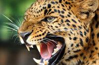 leopard mean.jpg