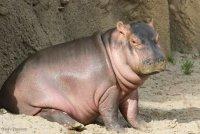 baby hippo a.jpg