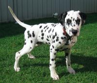 Dalmatian_puppy,_four_months.png