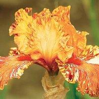 cheetah-cheese-iris.jpg