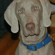 Graydog