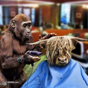 Chimp cutting hair